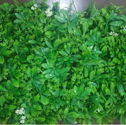 Mix Green Leaves With White Berries (Ind