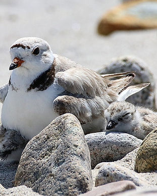 Piping Plover_brood2_20180714.jpg