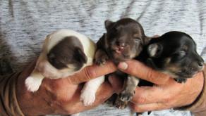 Highland Glenn Havanese Puppy Calendar