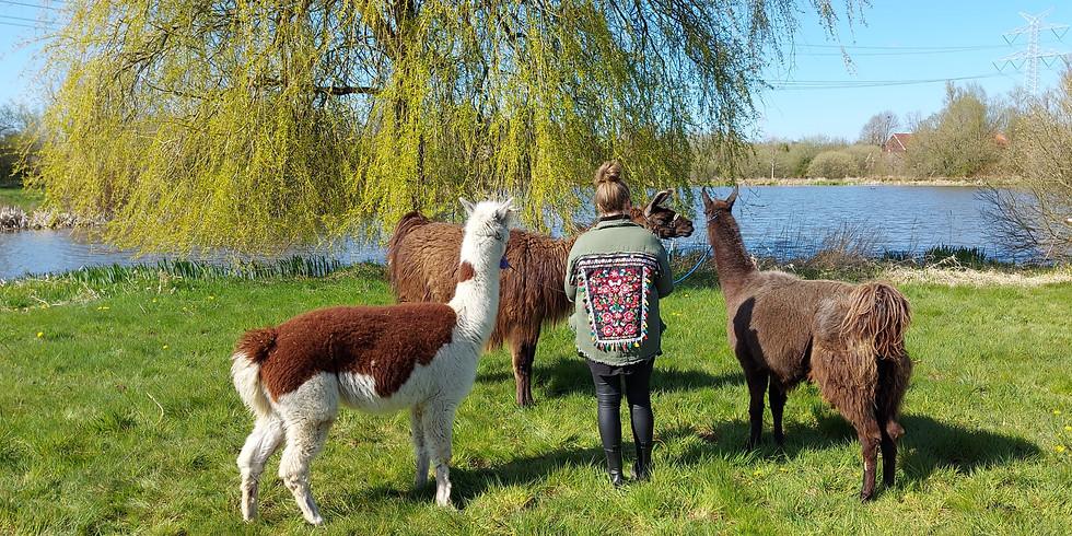 Alpaka und Lama Wanderung am 26.06.21 - 14.30Uhr