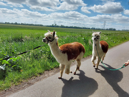 Alpaka-Wanderung.jpg