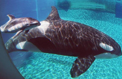Vancouver Aquarium Whales