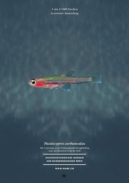 Thea Sonderegger, Plakat Paedocypris carbunculus, Fisch