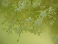 Fleurs de sureau en macération
