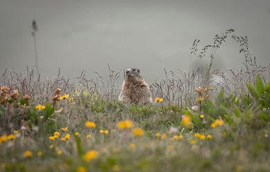Marmotte en vallée de Valmeinier
