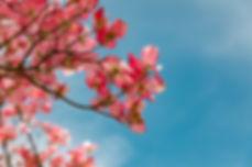 blossom-4151081_1920.jpg