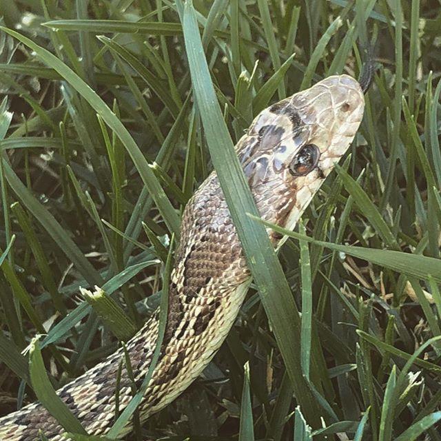 Little gofer snake was sunning itself in