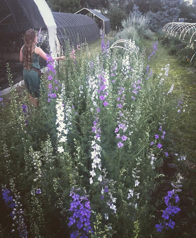 These larkspur were directly sewn on the