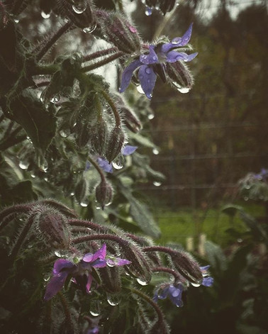 Drippy Borage; relieves melancholy and p