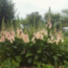 Peachy Foxglove hitting their stride!_Th