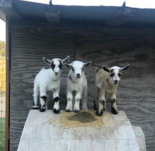 2CrazyGoatLadies com Welcome - Texas Pygmy Nigerian Dwarf Goats