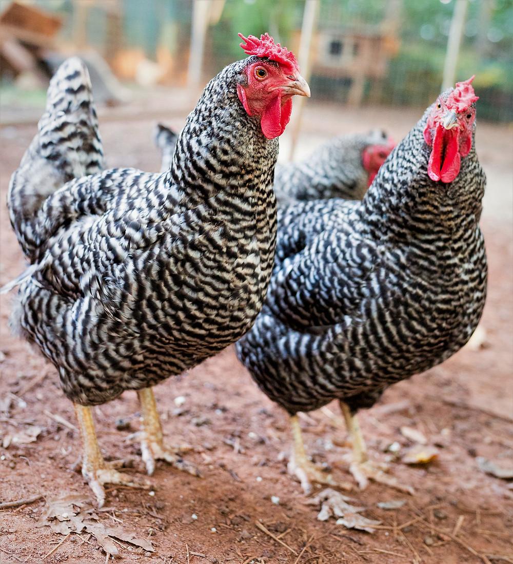Dominique hens
