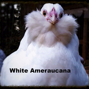 Lavender and White Ameraucana
