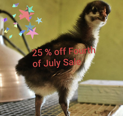 Fourth of July 25% off all chicks