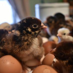 Incubating Eggs In 21 Days