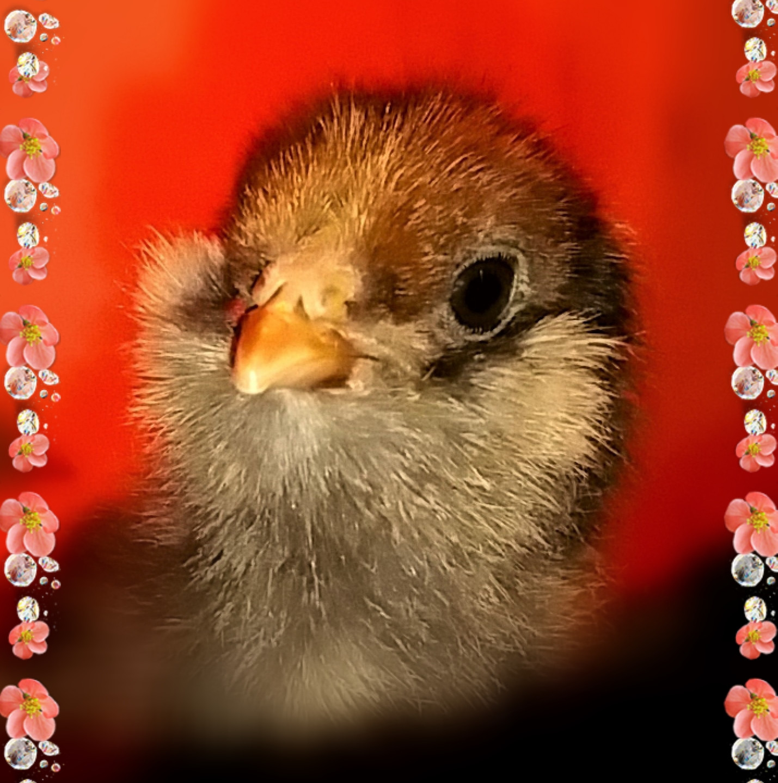 April Chicks