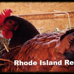 Heritage Verses Hybrid Breed Chickens