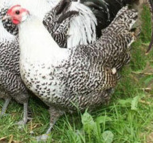 Deathlayer hen