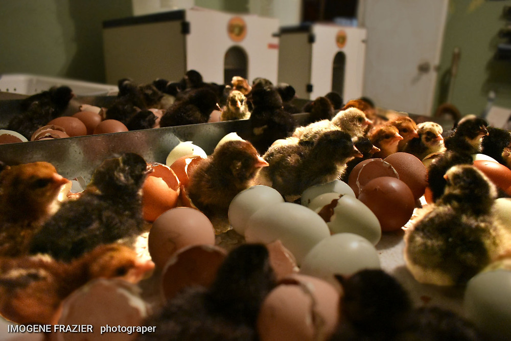 After taking chicks to a brooder remove all the shells and put the unhatched back into the hatcher.