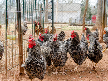 Winter Care for Chickens