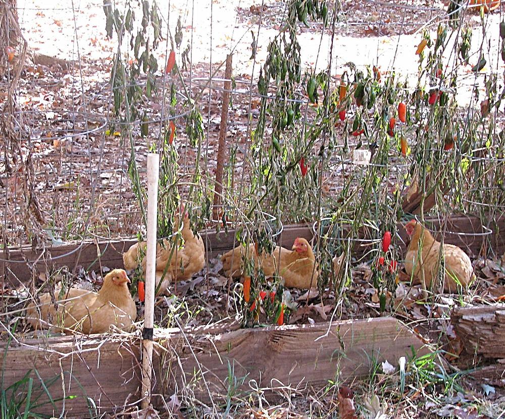 Plymouth Buff Rock Bantam hens lounging in a fall garden