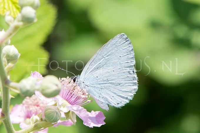 Celastrina argiolus - Boomblauwtje2