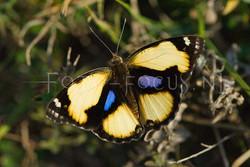 Junonia hierta cebrene - male
