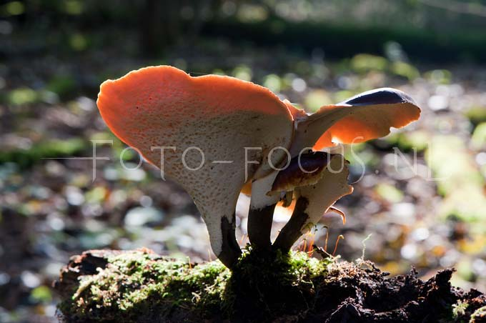 Polyporus badius - Peksteel