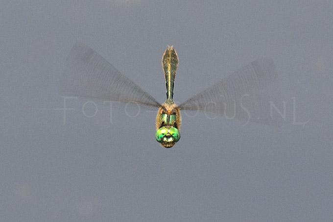Cordulia aenea - Smaragdlibel5 -male