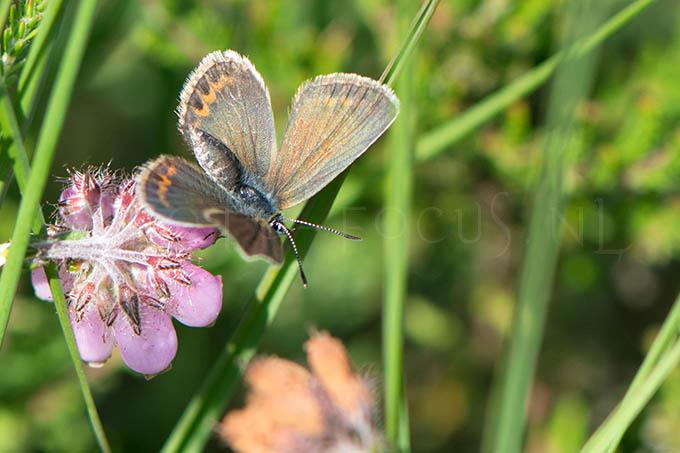 Plebejus argus - Heideblauwtje1 -female