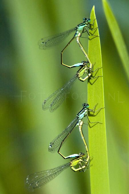 Ischnura elegans - Lantaarntje3 - copula