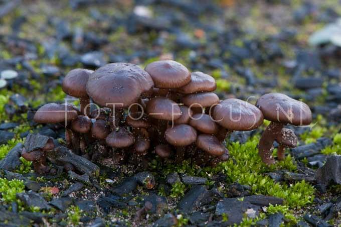 Entoloma sericeum - Bruine satijnzw