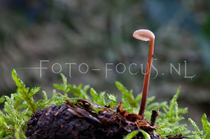 Auriscalpium vulgare - Oorlepelzw1