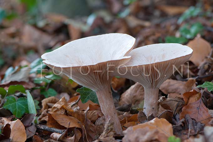 Clitocybe geotropa - Grote trechterzw1