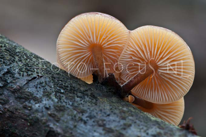 Flammulina velutipes - Gewoon fluweelpootje1