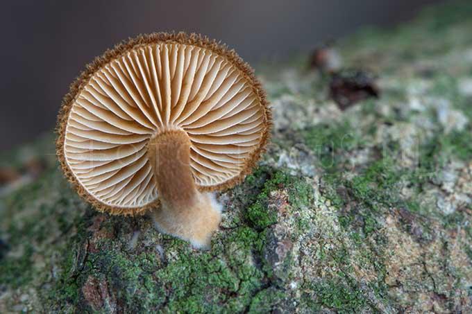 Phaeomarasmius erinaceus - Egelzw4
