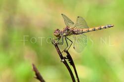 Sympetrum striolatum - Bruinrode heidelibel1- female