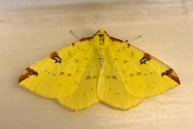 Opisthograptis luteolata - Hagedoornvlinder
