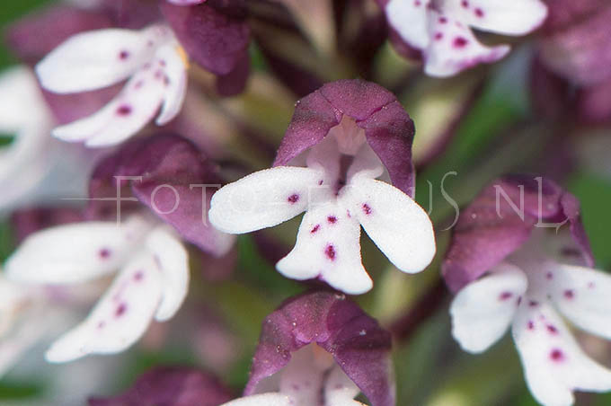 Neotinea ustulata  - Aangebrande orchis3