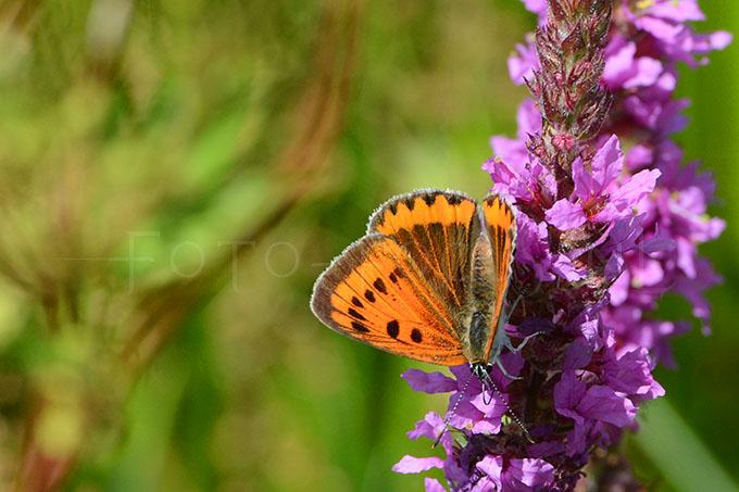 Lycaena dispar batava - Grote vuurvlinder4 -female