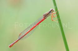 Ceriagrion tenellum - Koraaljuff.1-female