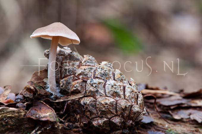 Baeospora myosura - Muizenstaartzw