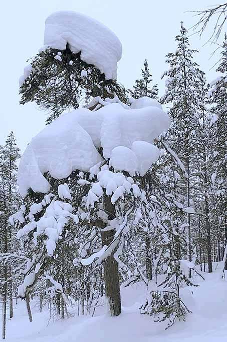 Lapland color 6