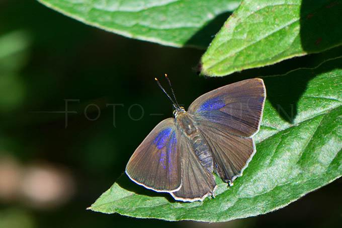 Favonius quercus - Eikenpage -female