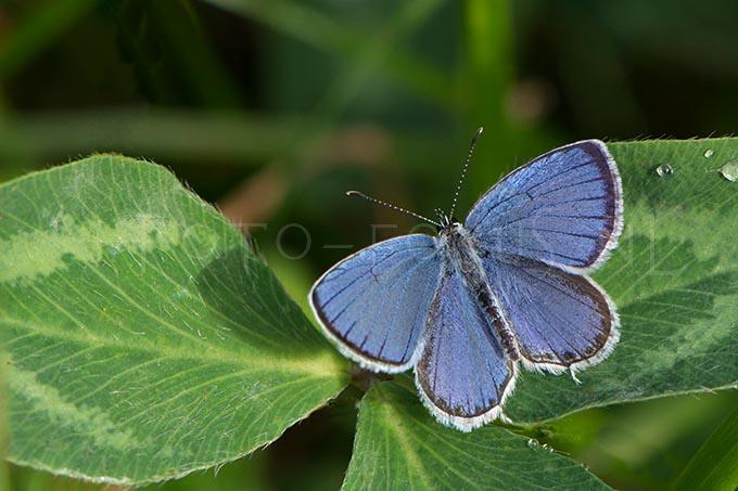 Cupido argiades - Staartblauwtje1 -male