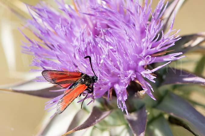 Zygaena purpuralis - Streep-sint-jansvlinder1