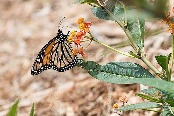 Danaus plexippus - Monarchvlinder2