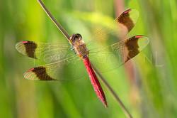 Sympetrum pedemontanum - Bandheidelibel3 -male