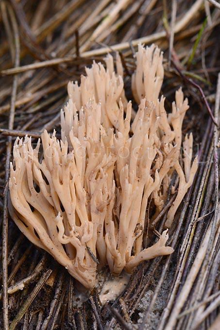Ramaria ammophila - Helmkoraalzw.1