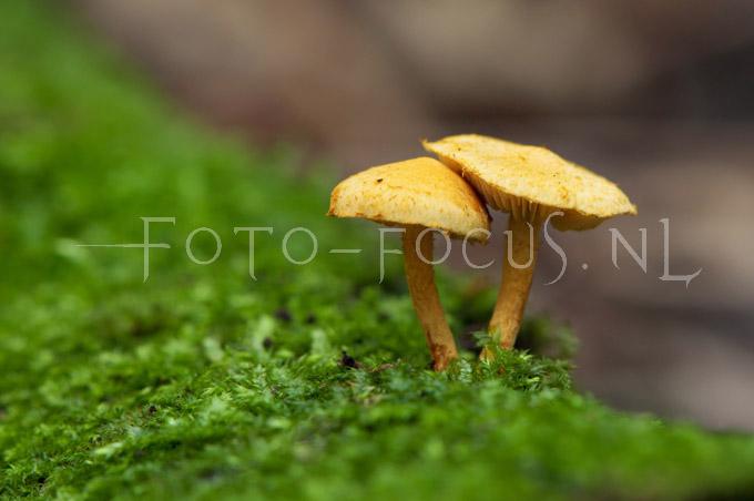Pholiota tuberculosa - Oranjegele bundelzw